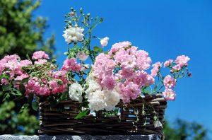 roses-1477992_640